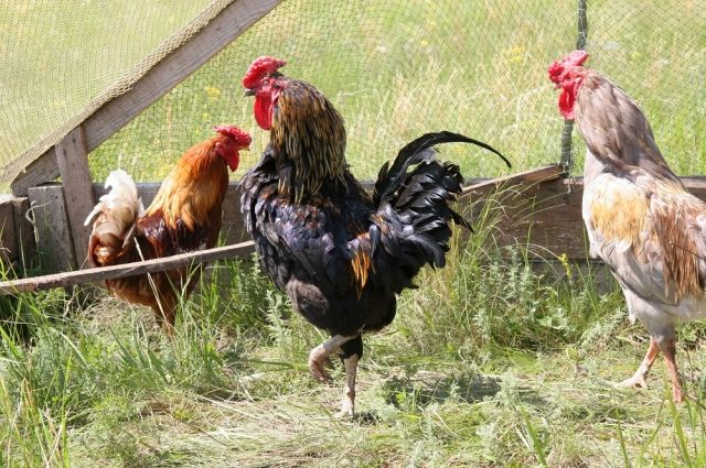 Без домашней птицы нельзя представить деревенский пейзаж.