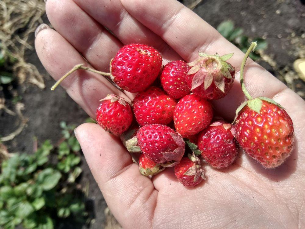 Последние в этом сезоне ягоды с грядки.