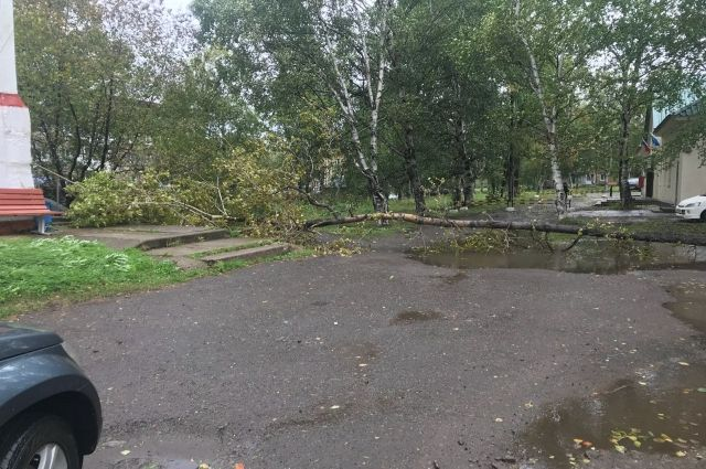 Из-за сильных порывов ветра повалено множество деревьев.