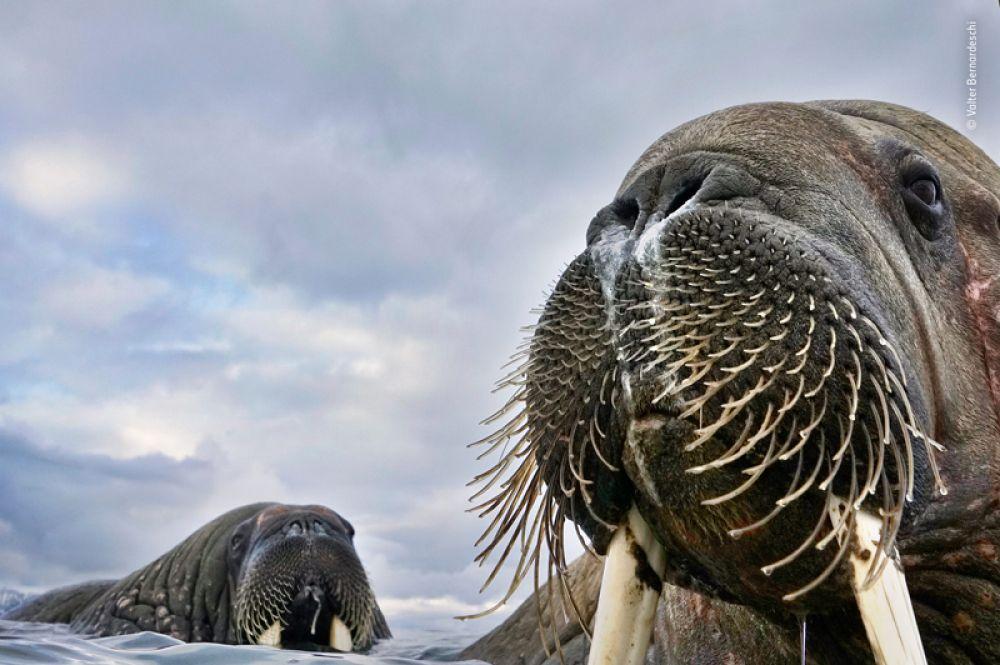 Моржиха с детенышем на норвежском архипелаге Свальбард.
