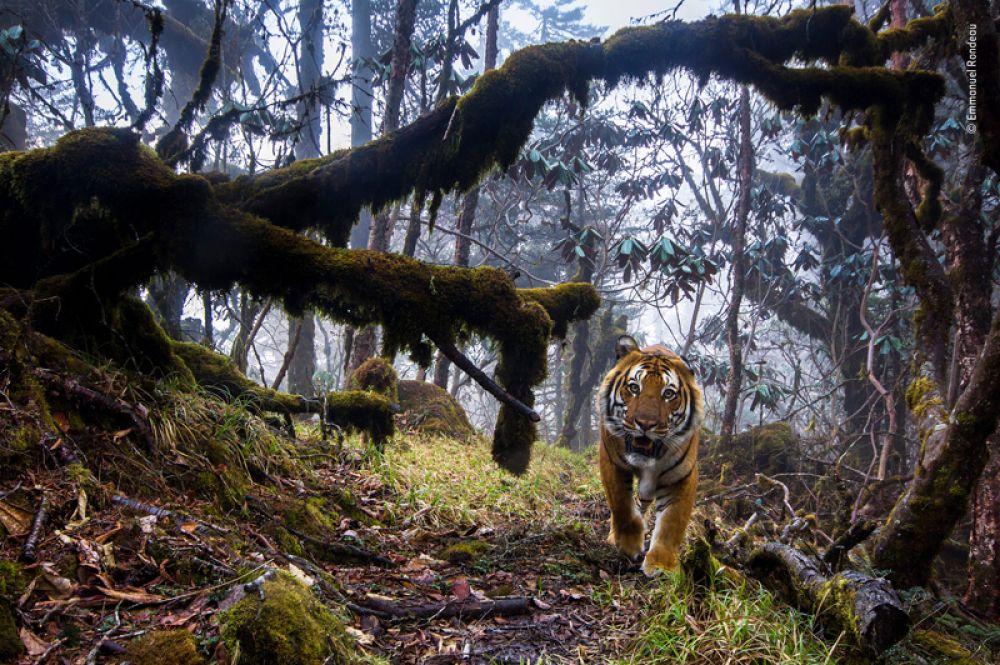 Бенгальский тигр в гималайском лесу в Бутане.