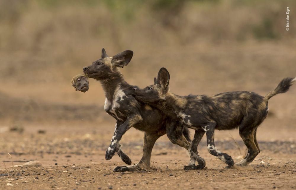 Гиеновидные собаки играют с головой павиана, которого они съели на завтрак.