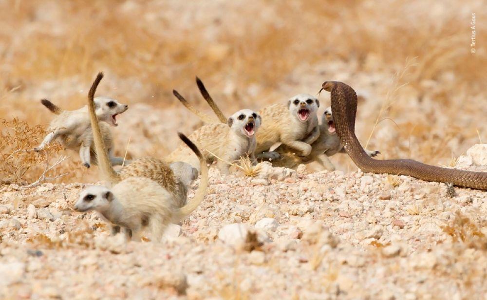 Детеныши суриката защищаются от кобры.