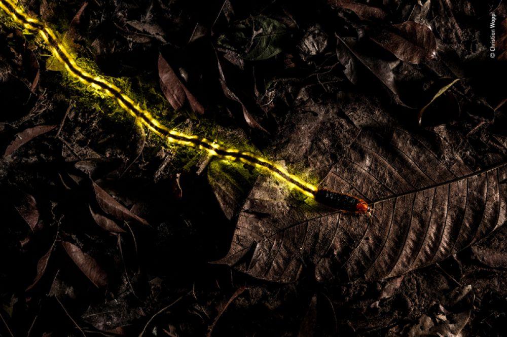 Личинка светлячка в ботаническом саду Таиланда. Его свечение — результат химической реакции, призванное предупредить хищников об опасности.