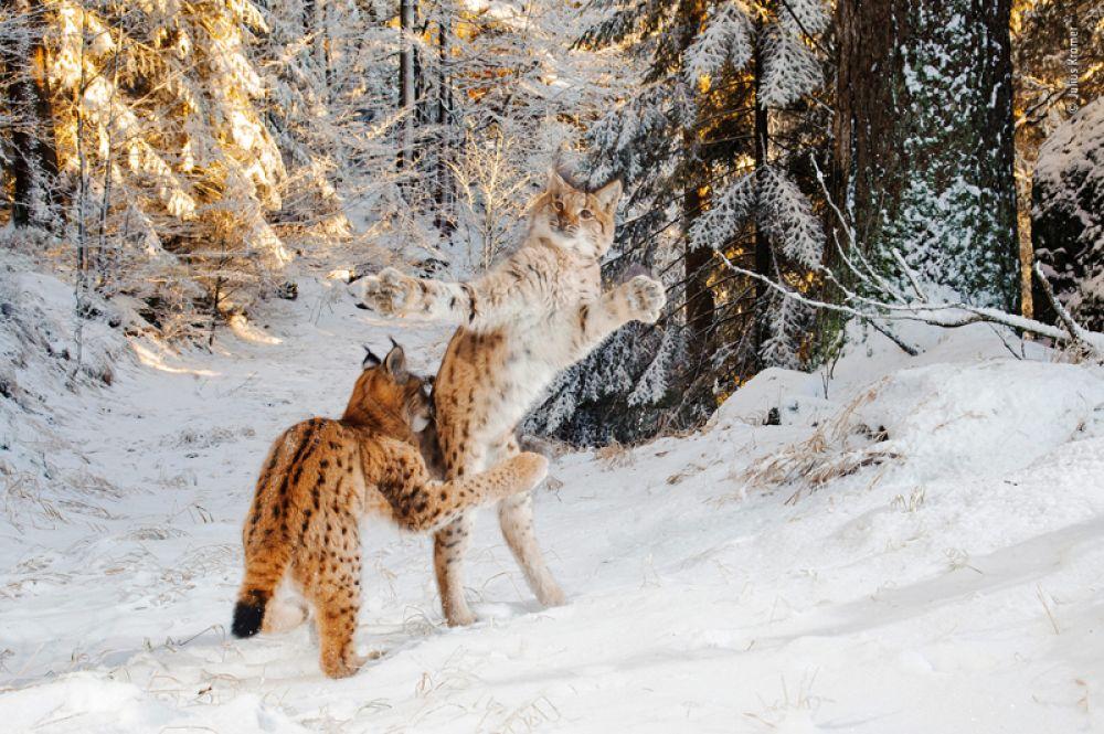 Шестимесячные детеныши евразийской рыси играют на снегу.