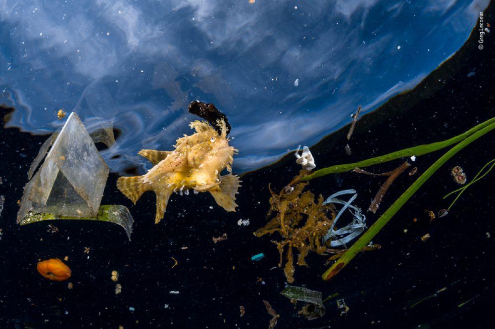Саргассовый морской клоун плывет среди мусора у архипелага Раджа-Ампат в Тихом океане.