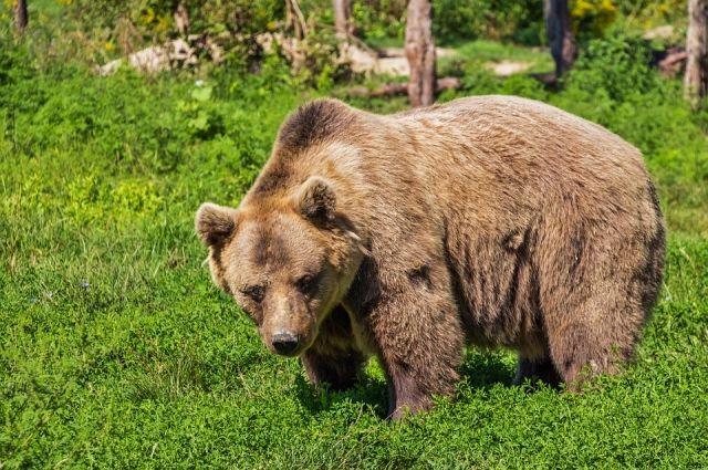 Крупный медведь был замечен в окресностях нескольких сел.