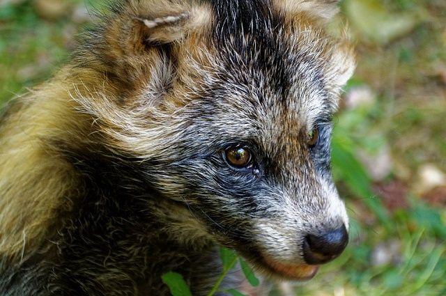 Енотовидные собаки охотятся на мелких травоядных.