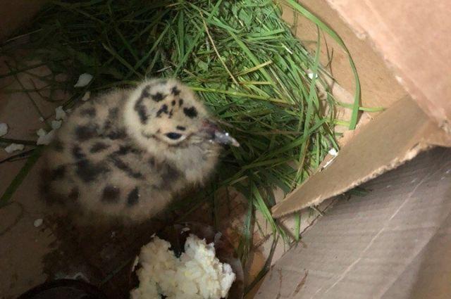 Напившись из пипетки, птенец смог самостоятельно улететь по своим птичьим делам.