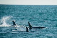 В акватории Кроноцкого заповедника обитает множество видов морских млекопитающих.