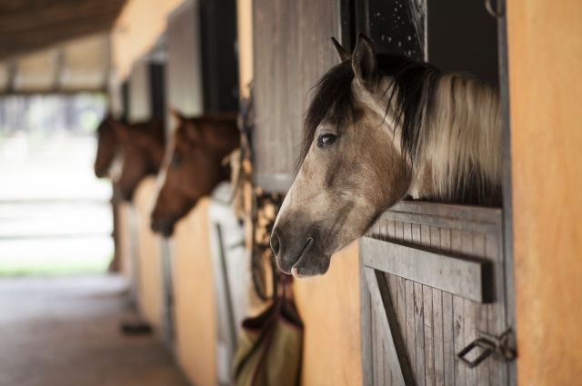 Под Тюменью на сельхозпредприятии у лошадей выявили инфекционную анемию