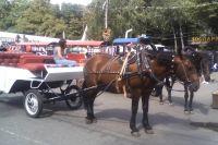 Лошади в парках приучены к шуму и менее пугливы.