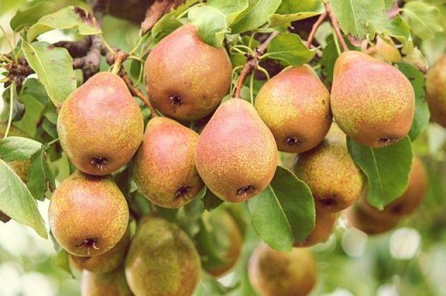 По сравнению с яблоками, сладости в грушах – больше, а сахара – меньше.