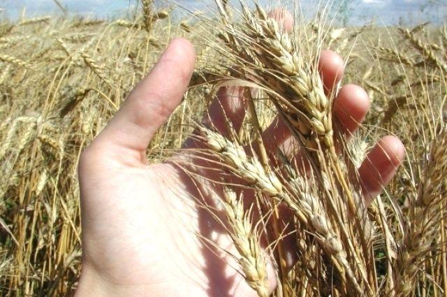 Пшеница всё еще в поле.