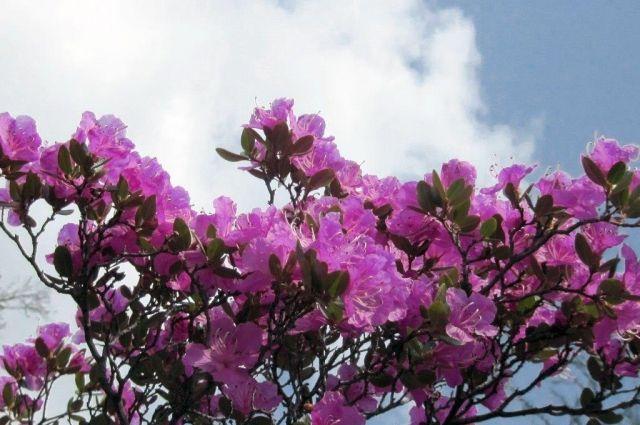 Так сейчас цветет рододендрон Ледебура.