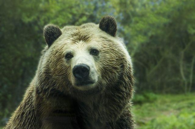 5-летнюю медведицу водитель легковушки сбил в Осинском районе.