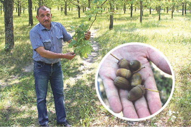 Юрий Тепин: «Черешчатый дуб способен передавать через жёлудь все наследственные свойства и размножаться семенами».