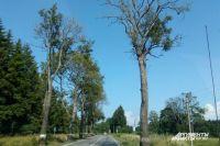 Дорога на Балтийск. Часть деревьев уже превратилась в сухостой.