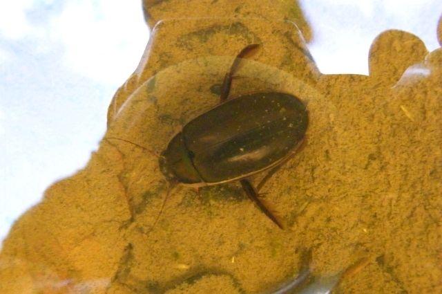 Тюменцы напуганы: по ночам с шумом летают странные жуки
