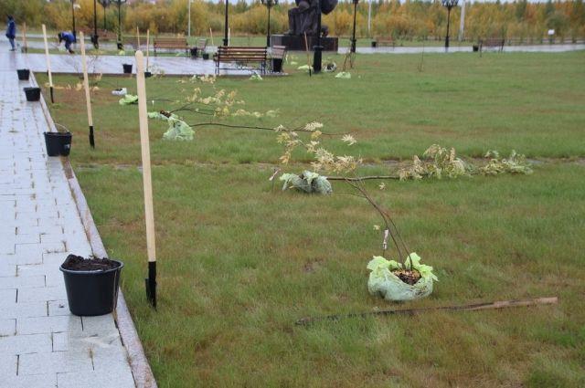 В Салехарде «Парк Победы» пополнили еще пятьдесят рябин