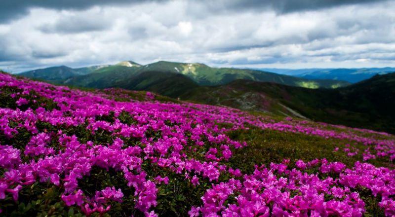Рододендрон растет только на самых высоких горных хребтах и это большая удача - попасть на пик его цветения.