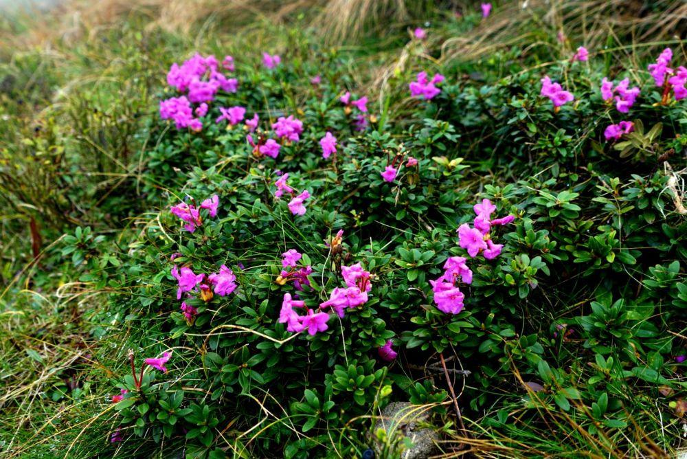 Червоная рута – название горного цветка, растущего в высокогорье украинских Карпат.