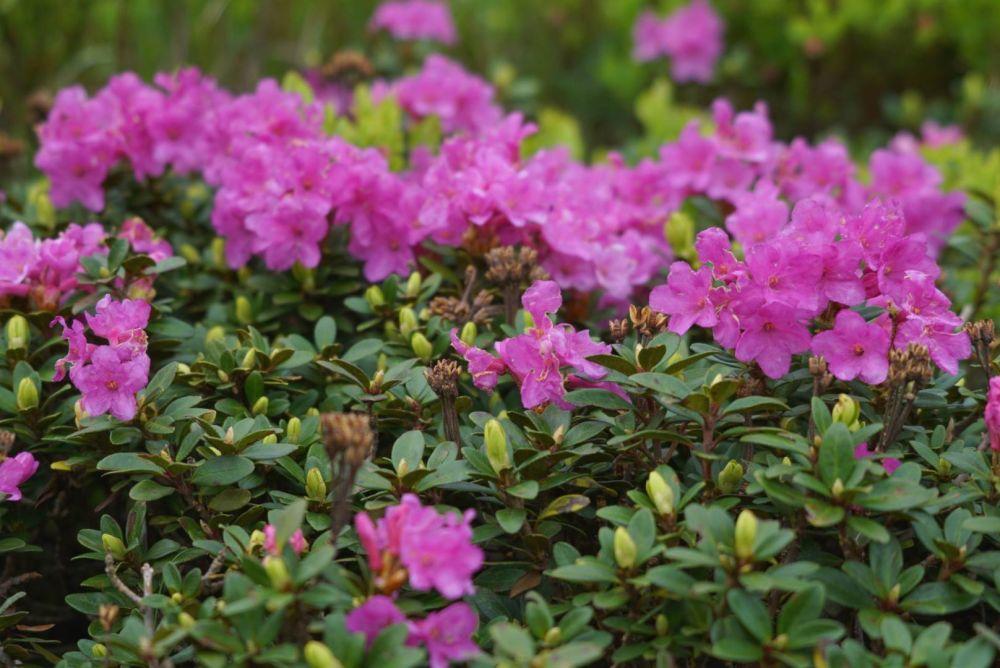 Именно у подножия Говерлы пока и цветет цветок любви. Поэтому спешите увидеть ярко-красные ковры из цвета этой удивительной высокогорной растения.