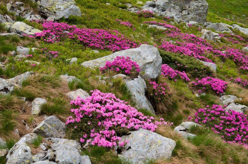Это стоит увидеть! На Говерле обильно цветет рододендрон.