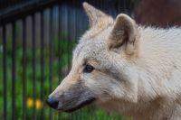 Волка увезли в августе, когда ему было четыре месяца.