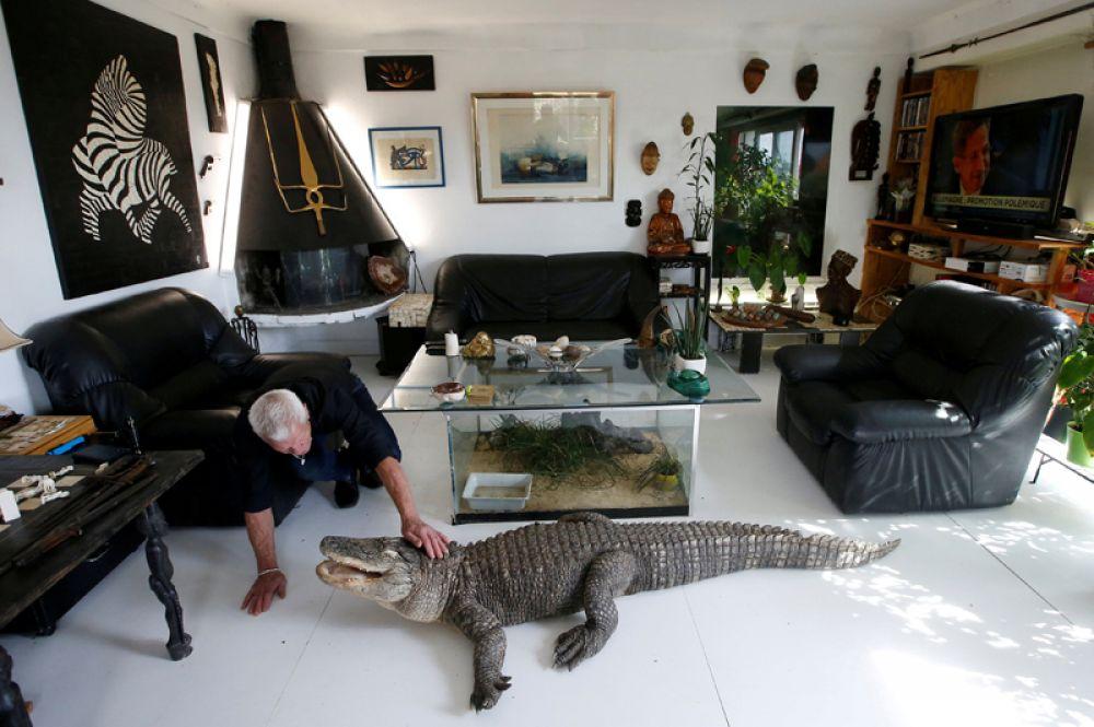 Филипп Жилле кормит прирученного аллигатора Али курицей в своей гостиной, Нант, Франция. В доме у 67-летнего француза живет более чем 400 рептилий.