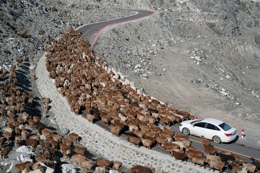 Овцы на дороге возле поселка Кёктокай во время сезонной миграции, Китай.