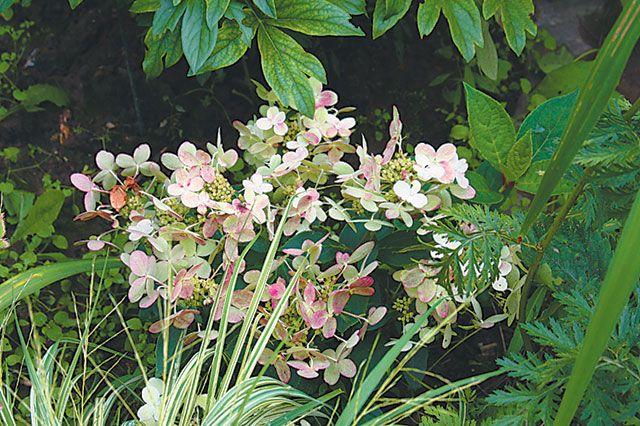 Гортензии для маленького сада. Что посадить на участке в 6 соток
