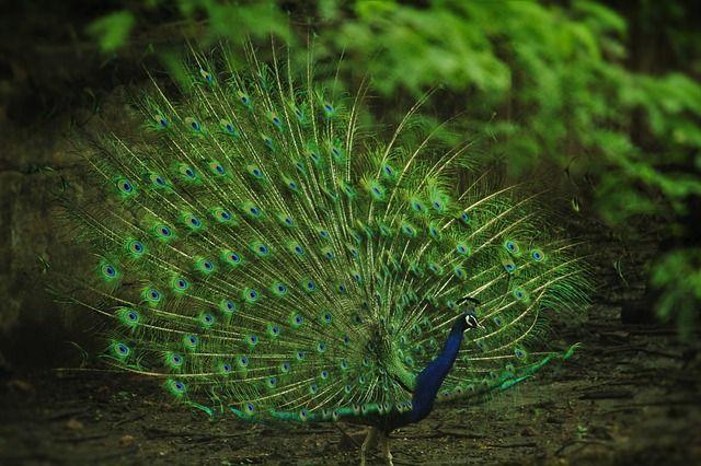 Павлина для съёмок выбрали не случайно. Эта птица нарисована на логотипе марки.