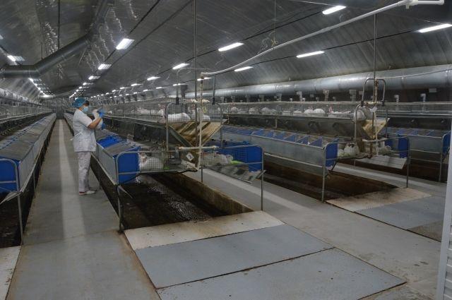 В Омской области разводят кроликов породы Хиколь