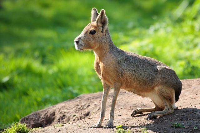 Рост некоторых животных достигает полуметра, а длина — до одного метра.