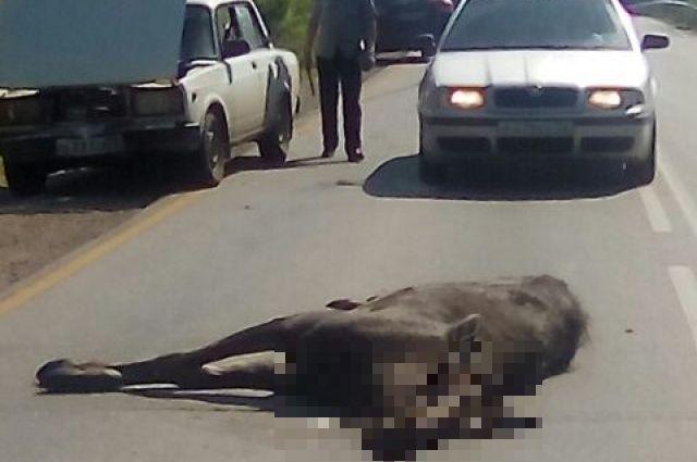 Одно животное погибло в результате ДТП.