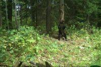 Медведи перестали бояться людей.