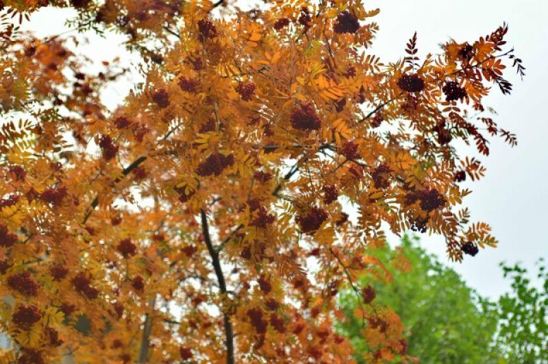 Куст спелой рябины ждёт зимы.