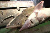 Рыбаки незаконно добыли рыбу ценного вида