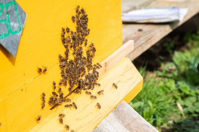Башкирская пчела особенности и уникальность