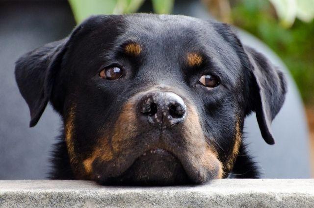 Убитый пёс был перспективным и с четырёх месяцев уже участвовал на выставках.