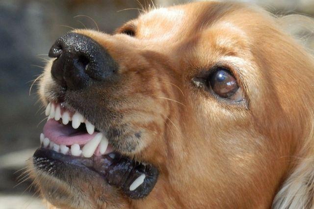 В Салехарде девочку покусала собака, которая выбежала из подъезда