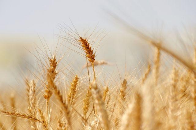 Тюменские аграрии намолотили миллион тонн зерна