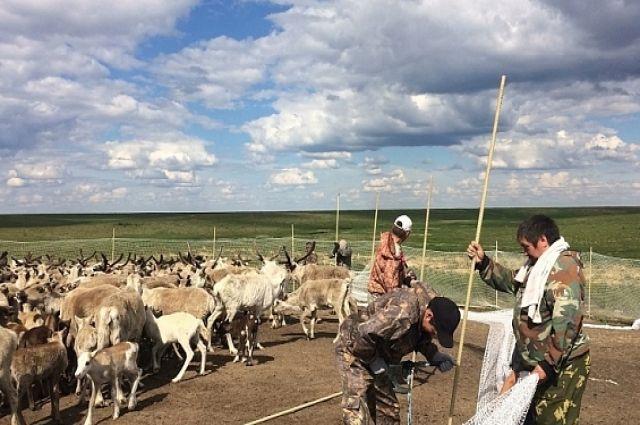 В Тазовском районе против сибирской язвы привили более 122 тысяч оленей
