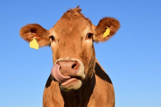 Областной Россельхознадзор постановил уничтожить говядину.