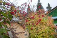 В начале октября садоводы перекапывают землю вокруг плодовых деревьев и ягодных кустарников.
