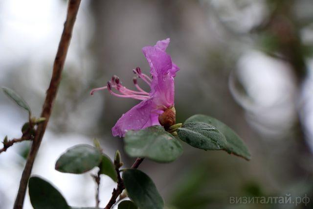 Цветение маральника на Алтае в мае