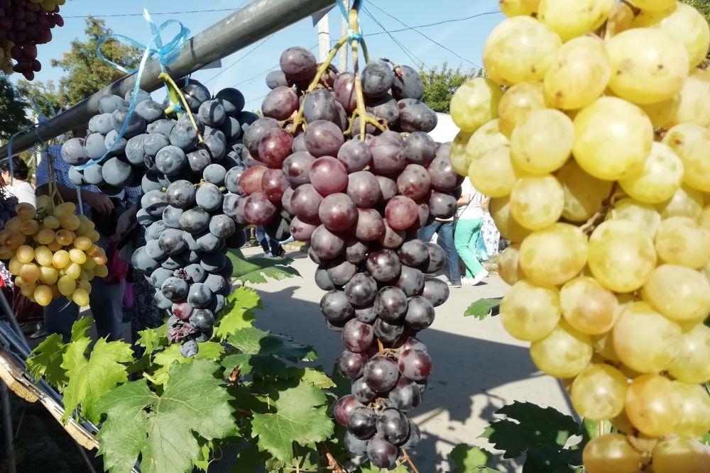 Посетители дегустировали продукцию местных производителей, участвовали в конкурсах, в викторинах, выбирали чубуки и саженцы, запасались виноградом, яблоками, медом, орехами.