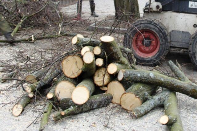 Жительница Балтийска попалась на незаконной вырубке семи деревьев.