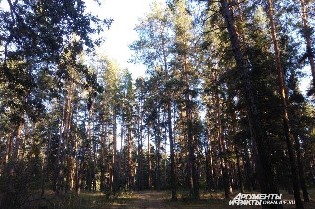 Лесорубу грозит 4 года колонии за вырубку деревьев в Бузулукском бору.